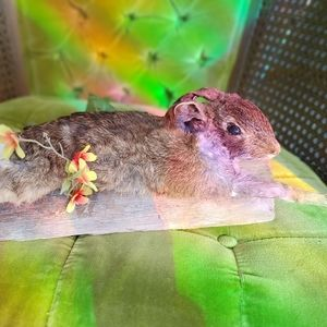 Cottontail rabbit taxidermy